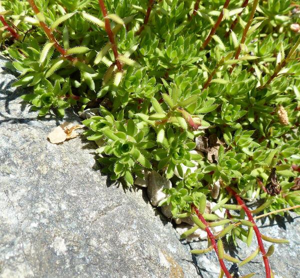 Saxifraga rebunshirensis Sipliv.