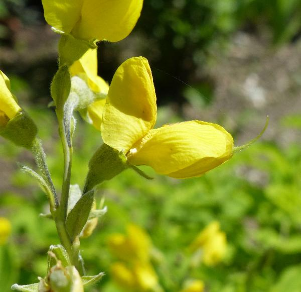 Thermopsis lupinoides (L.) Link