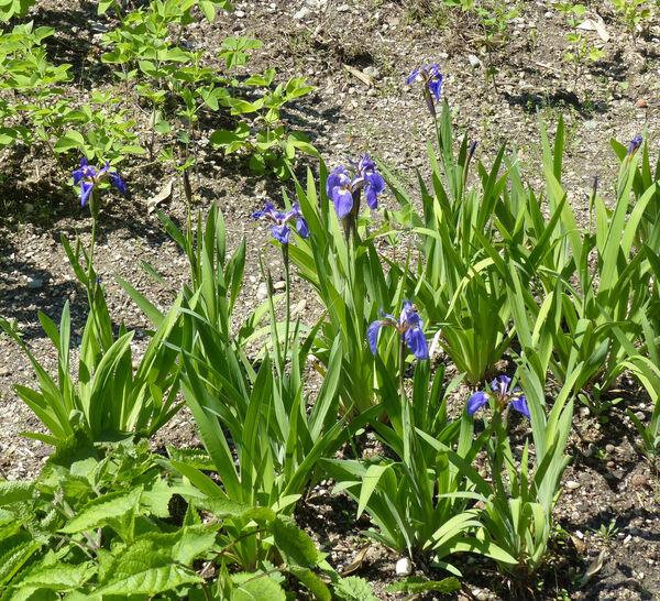Iris setosa Pall. ex Link