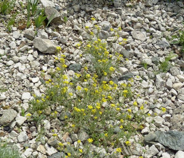 Aurinia sinuata (L.) Griseb.