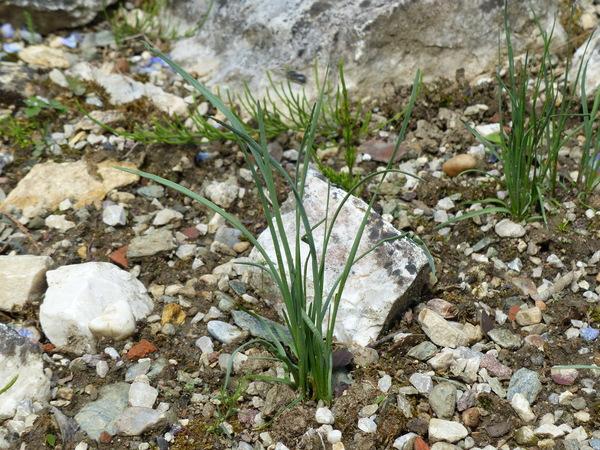 Allium kermesinum Rchb.