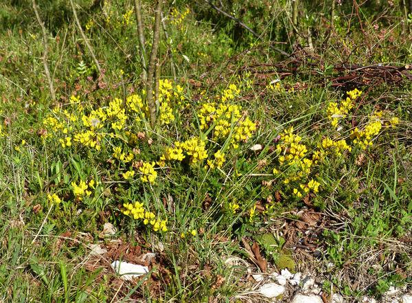 Cytisus pseudoprocumbens Markgr.