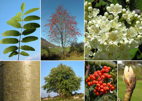 Sorbus aucuparia L. subsp. aucuparia