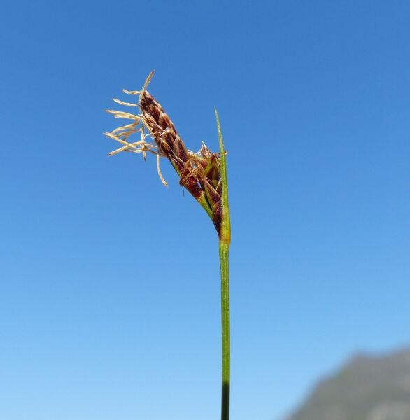 Carex mucronata All.