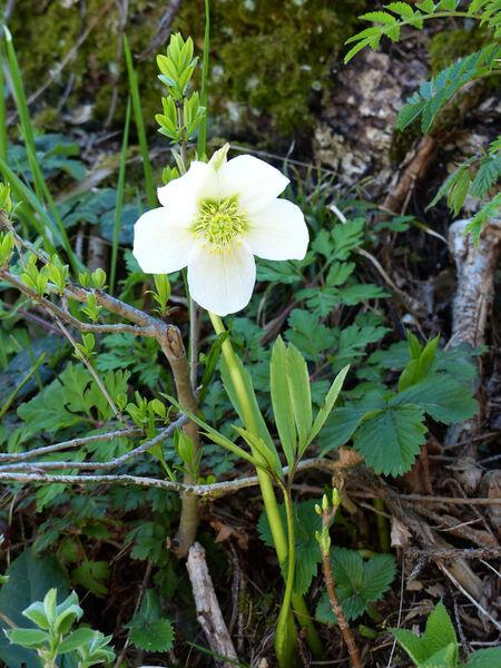 Helleborus niger L. subsp. niger