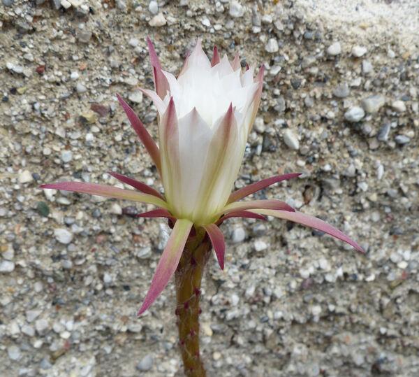 Echinopsis subdenudata Cárdenas