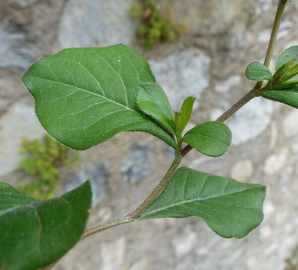 Ceratostigma plumbaginoides Bunge