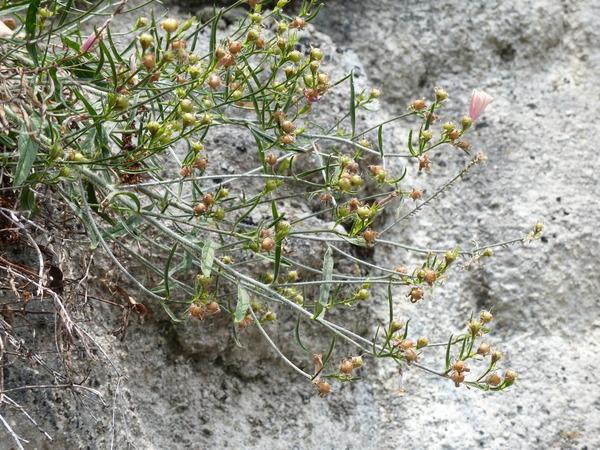 Convolvulus cantabrica L.