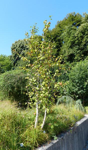 Betula pubescens Ehrh. subsp. tortuosa (Ledeb.) Nyman