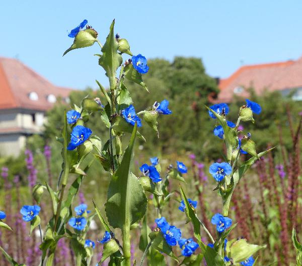 Commelina coelestis Willd.