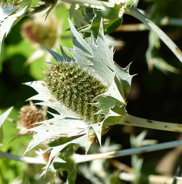 Eryngium giganteum M.Bieb.