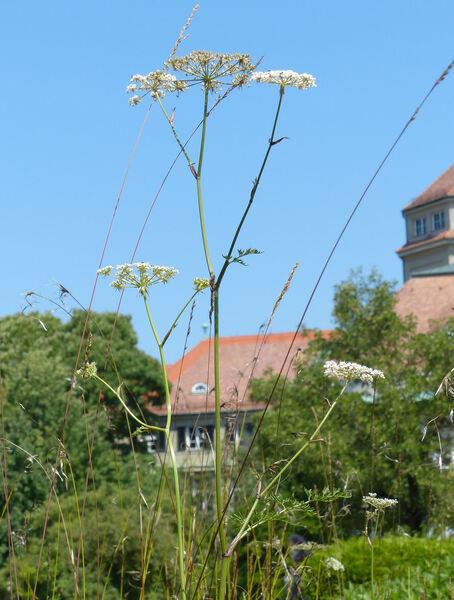 Thysselinum palustre (L.) Hoffm.