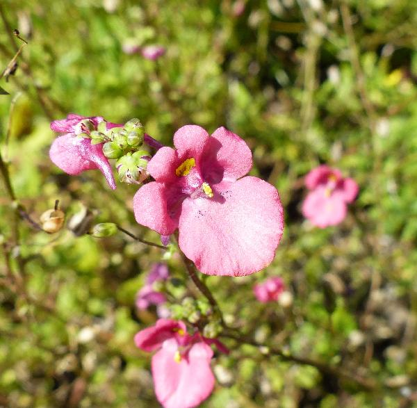 Diascia barberae Hook.f.