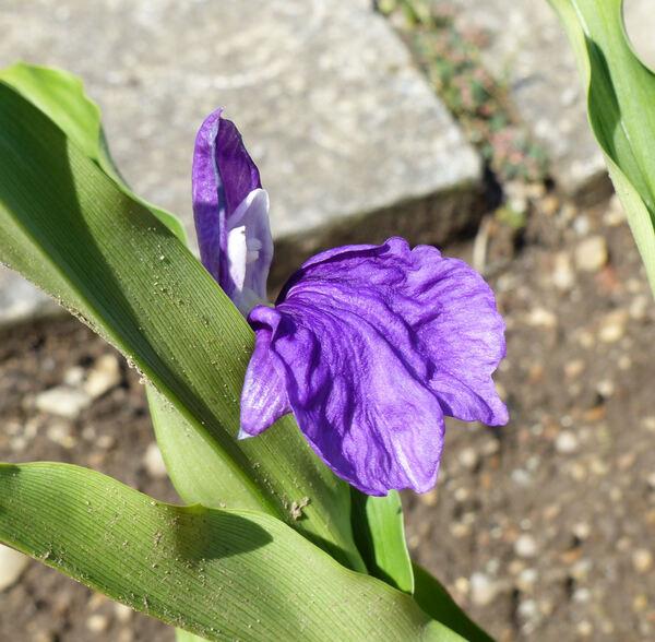 Roscoea purpurea Sm.
