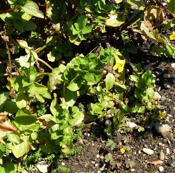 Erythranthe guttata (DC.) G.L.Nesom