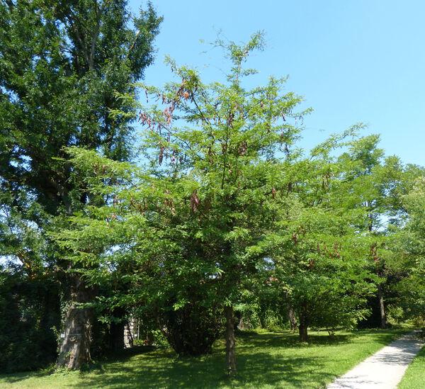Gleditsia japonica Miq.