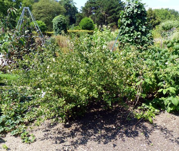Ribes uva-crispa L. 'Grüne Kugel'
