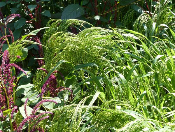 Oryza sativa L. subsp. sativa