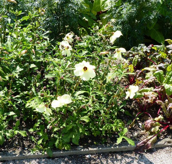 Hibiscus cannabinus L.
