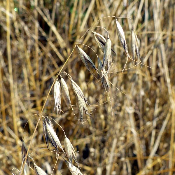 Avena sativa L. subsp. nuda (L.) Gillet & Magne