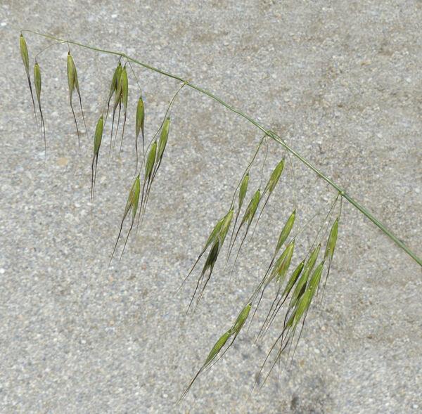 Avena sterilis L. subsp. sterilis