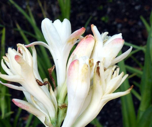 Polianthes tuberosa L.