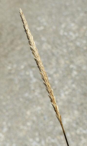 Cynosurus cristatus L.