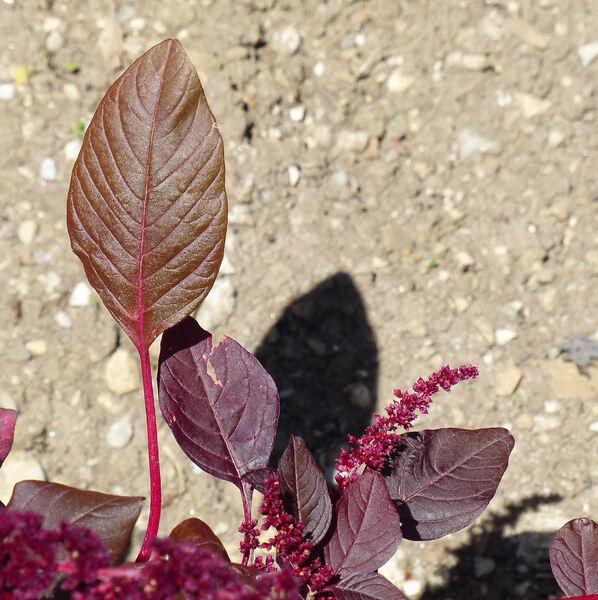 Amaranthus tricolor L. 'Hopi'