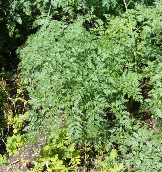 Conium maculatum L. subsp. maculatum