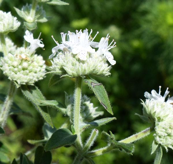 Pycnanthemum verticillatum (michx.) Pers. var. pilosum (Nutt.) Cooperr. 'Mountain Mint'