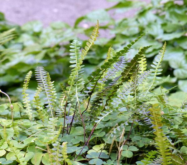 Blechnum penna-marina (Poir.) Kuhn