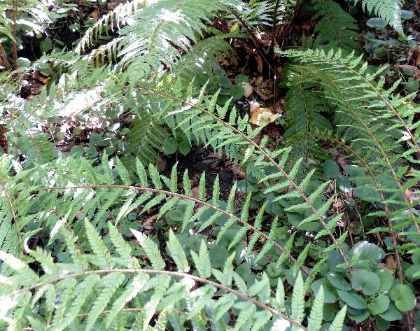 Polystichum setiferum (Forssk.) T. Moore ex Woyn. 'Elworthii'