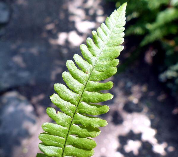 Dryopteris pseudomas (Woll.) Holub bis & Pouzar 'Crispa'