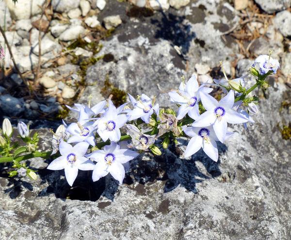 Campanula versicolor Andrews subsp. tenorei (Moretti) I.Janković & D.Lakušić
