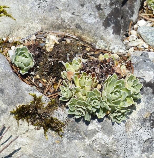Saxifraga paniculata Mill. 'Balcanica'