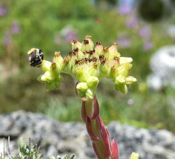 Jovibarba globifera (L.) J.Parn. subsp. hirta (L.) J.Parn.