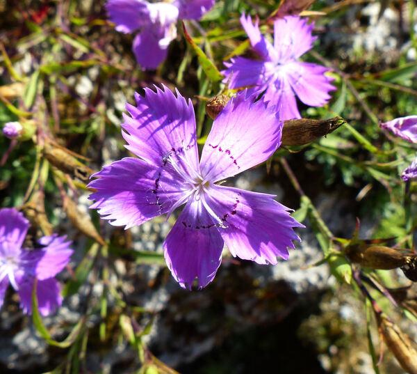 Dianthus imereticus (Rupr.) Schischk.