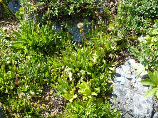 Pilosella corymbuloides (Arv.-Touv.) S.Bräut. & Greuter