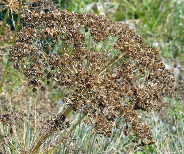 Laserpitium gallicum L. subsp. gallicum