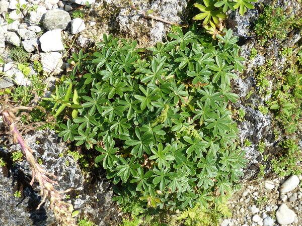 Alchemilla anisiaca Wettst.