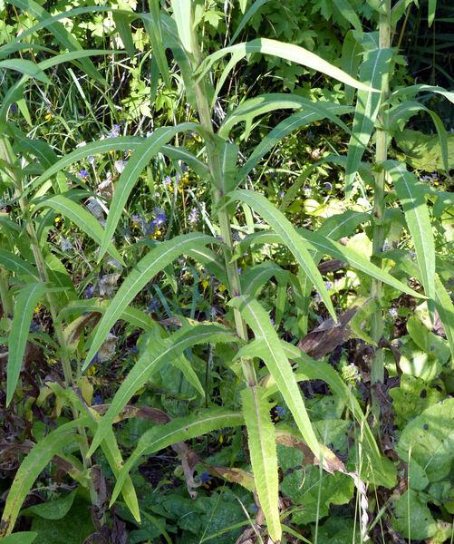 Sonchus palustris L.