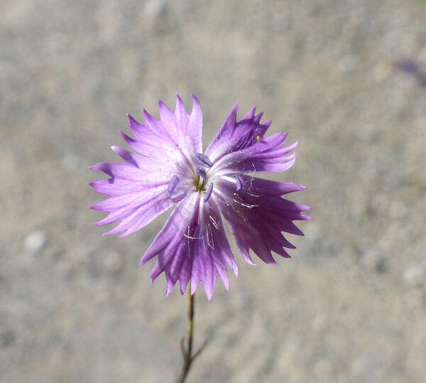 Dianthus campestris M.Bieb.