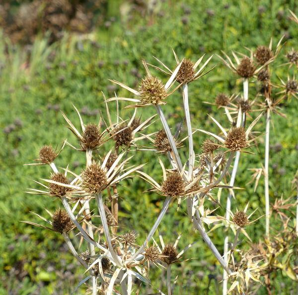 Eryngium spinalba Vill.