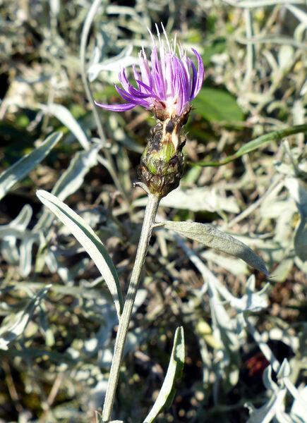 Centaurea tenoreana Willk.