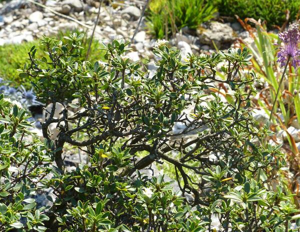 Daphne oleoides Schreb. subsp. oleoides