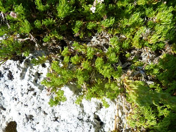 Asperula lilaciflora Boiss.