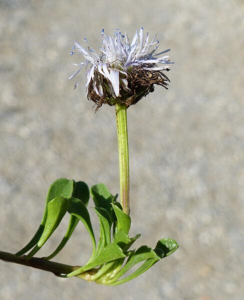 Globularia repens Lam.