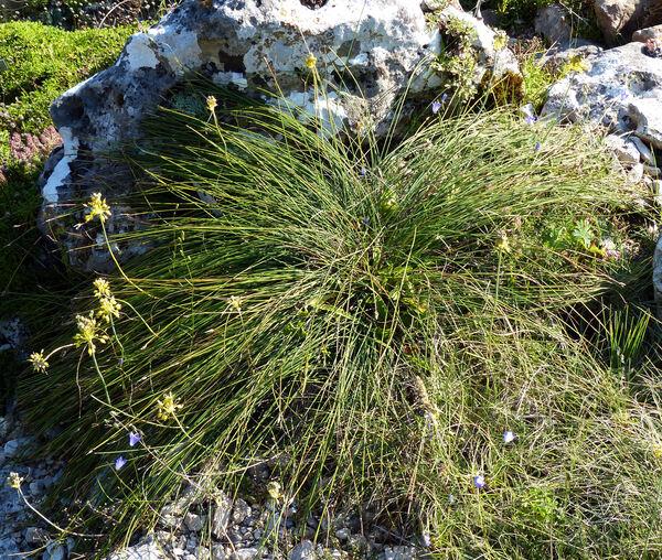 Allium flavum L. subsp. flavum