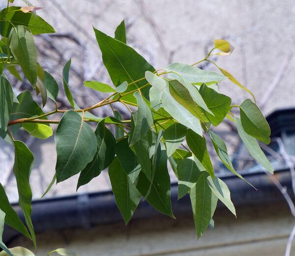 Eucalyptus alba Reinw. ex Blume