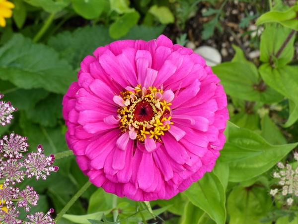 Zinnia violacea Cav. 'Uproar Rose'